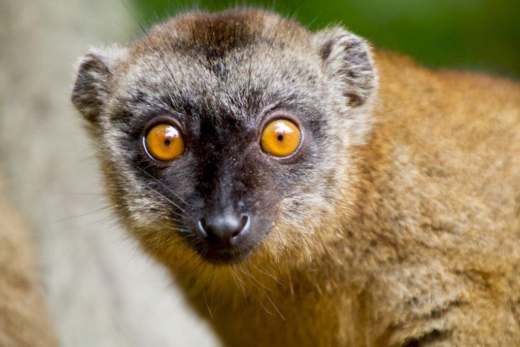 Lorsque l'on va plonger àMayotte, on peut avoir tout le loisir d'observer en surface des petits lémuriens.
