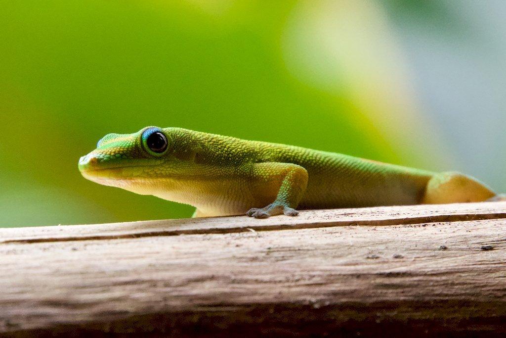 A Mayotte, des petits lézards verts curieux s'approchent.