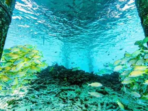 Des poissons se massent sous un ponton dans l'océan de Bonaire.