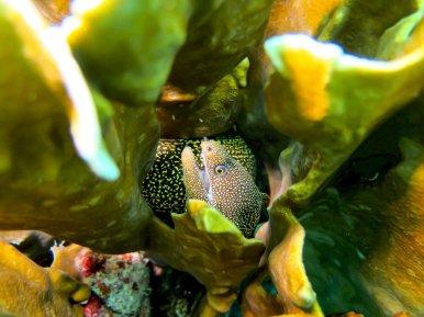 Une murène blottie dans un corail
