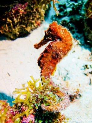 Un hippocampe