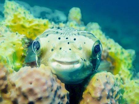 Un poisson coffre posé dans les coraux.