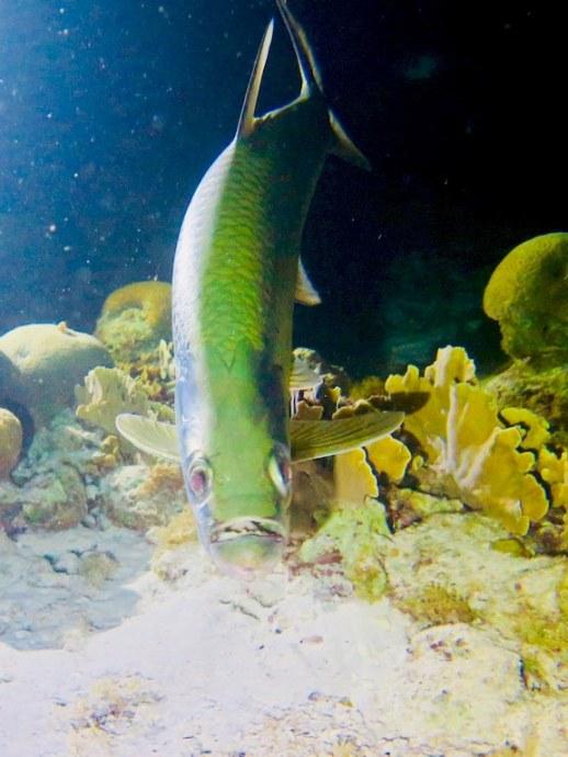 Plonger avec les tarpons offre des surprises comme ce tarpon lors d'une plongée de nuit à Bonaire.