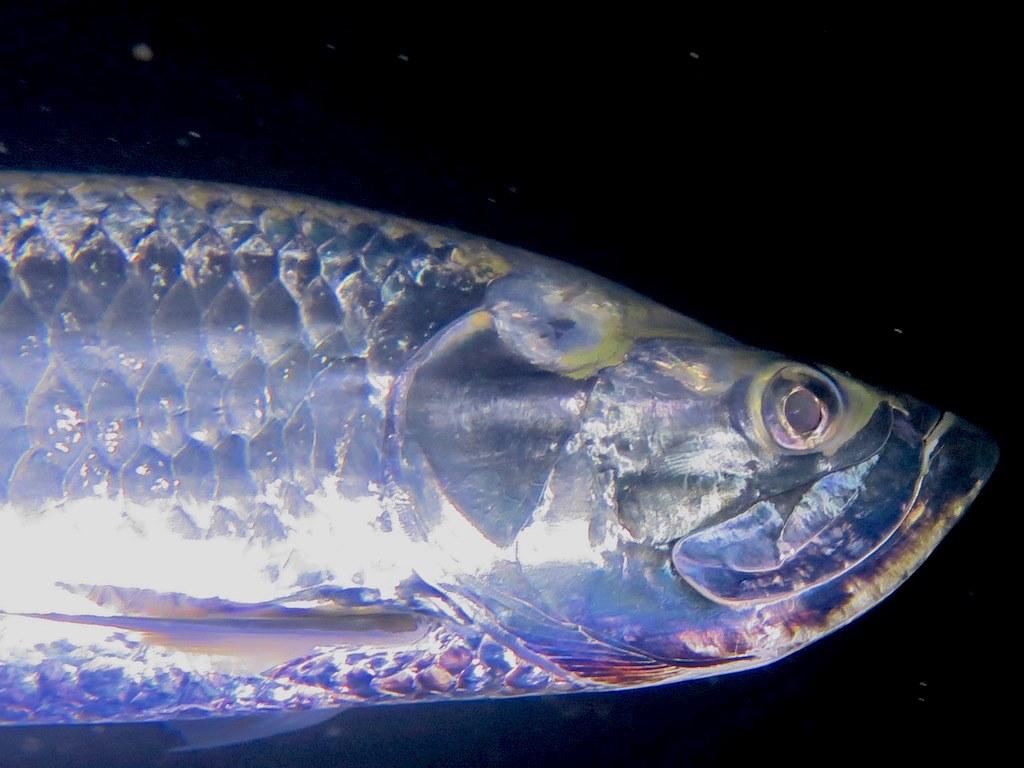 Plonger avec les tarpons de nuit permet de les observer de près comme avec celui-ci passant tout proche du photographe