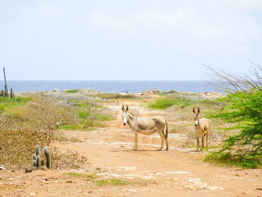 Les ânes se promènent en liberté à Bonaire.