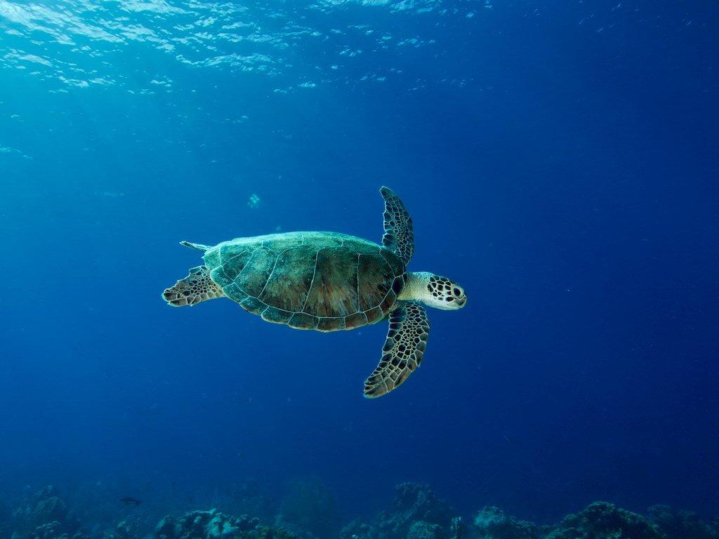 Une tortue dans les eaux claires de Bonaire