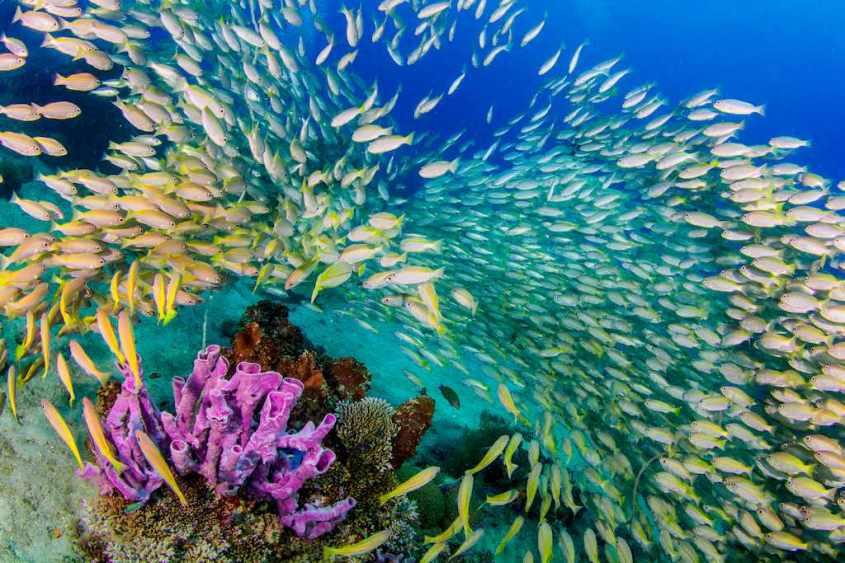 Un banc de poissons jaune et blanc dans les eaux indonésiennes.