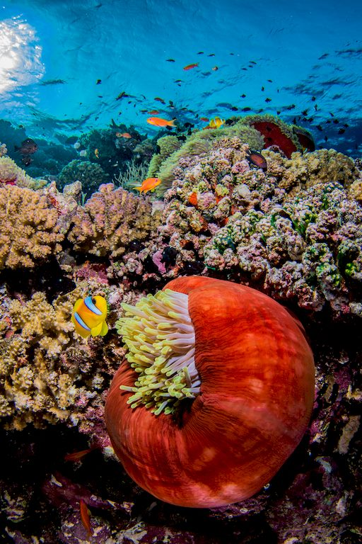 Un poisson clown et son anémone dans les eaux claires d'Indonésie.