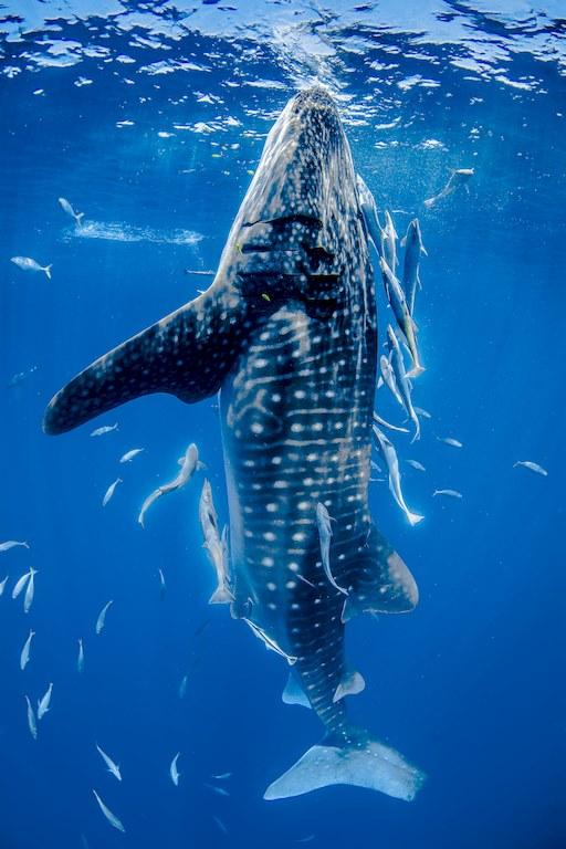 Un requin baleine prêt à aller en surface