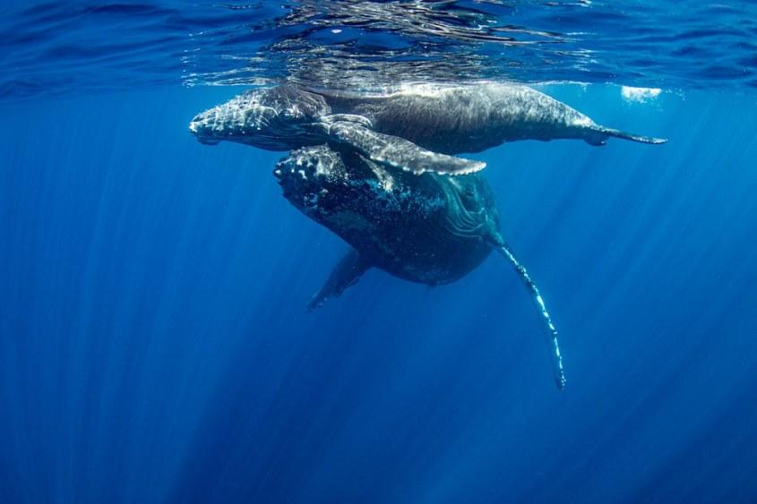 Une baleine et son baleineau dans les eaux chaudes et claires.