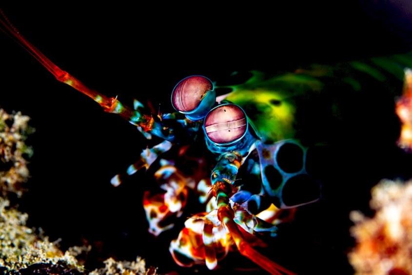 Les yeux d'une crevette mante.