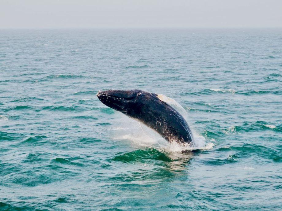 La préservation des aires marines est un défi important notamment pour les cétacés comme cette baleine dans les eaux du Maine.