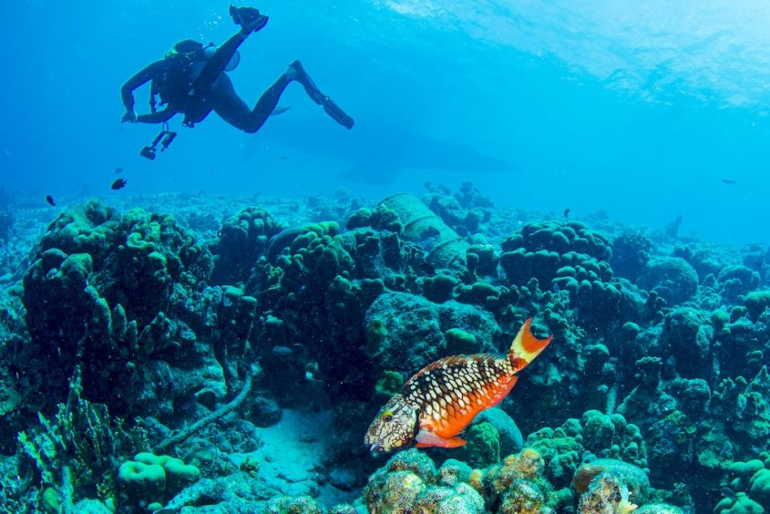 Un poisson perroquet coloré avec un plongeur en fond.