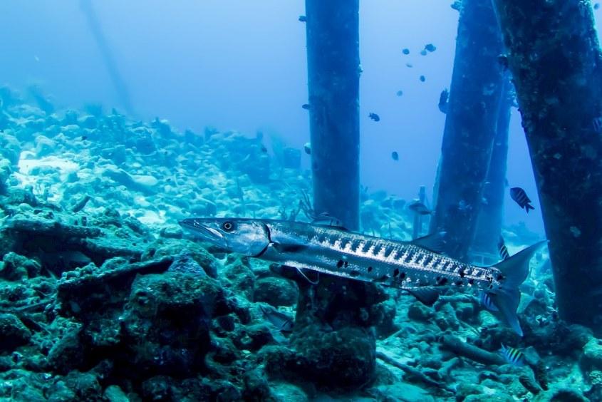 un barracuda sous les piliers de Salt Pier