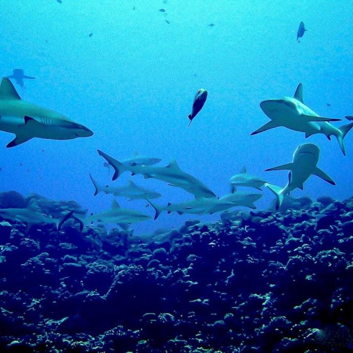 Des requins dans la passe de Fakarava en Polynésie