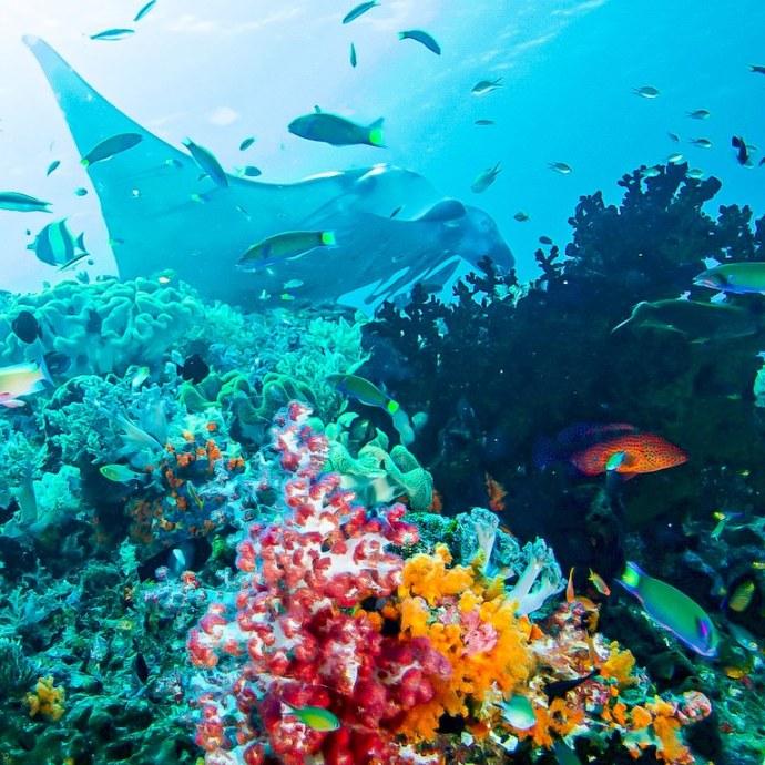 Une raie mania survole des coraux à Raja Ampat.