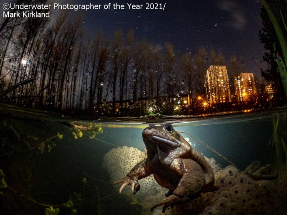 Une grenouille dans un plan d'eau de Glasgow.