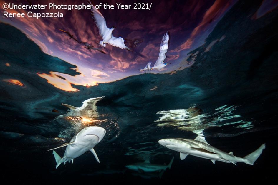 Deux requins sous la surface de l'eau sont survolés par deux oiseaux