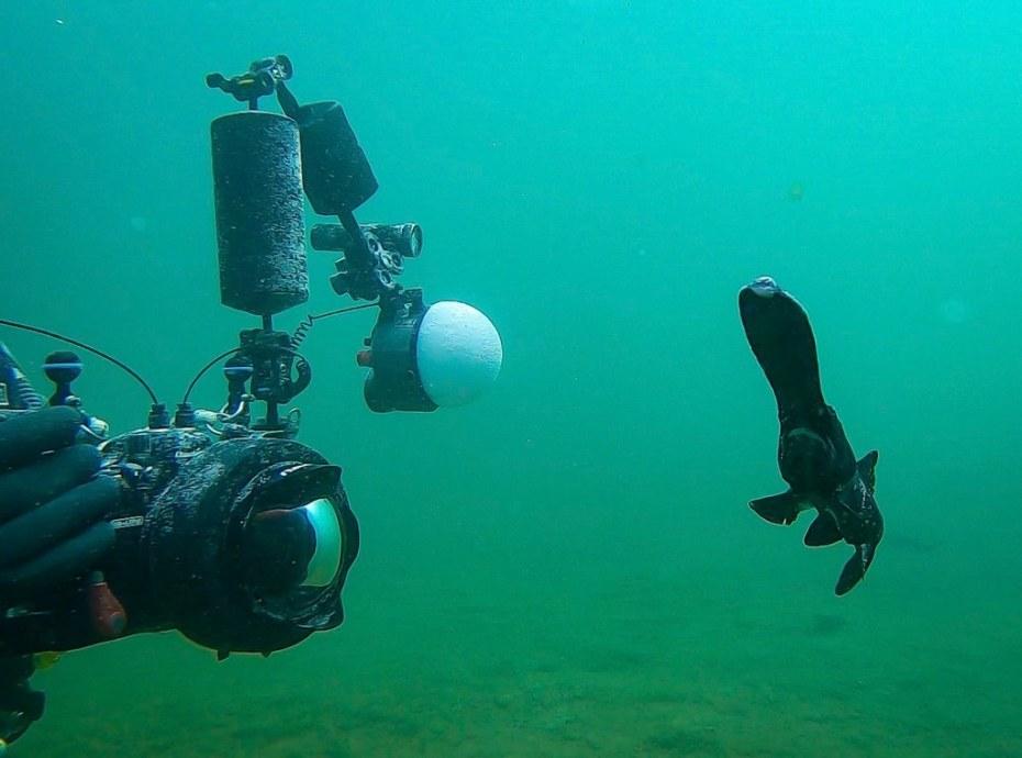 Un polyodon à spatule devant un photographe sous-marin.