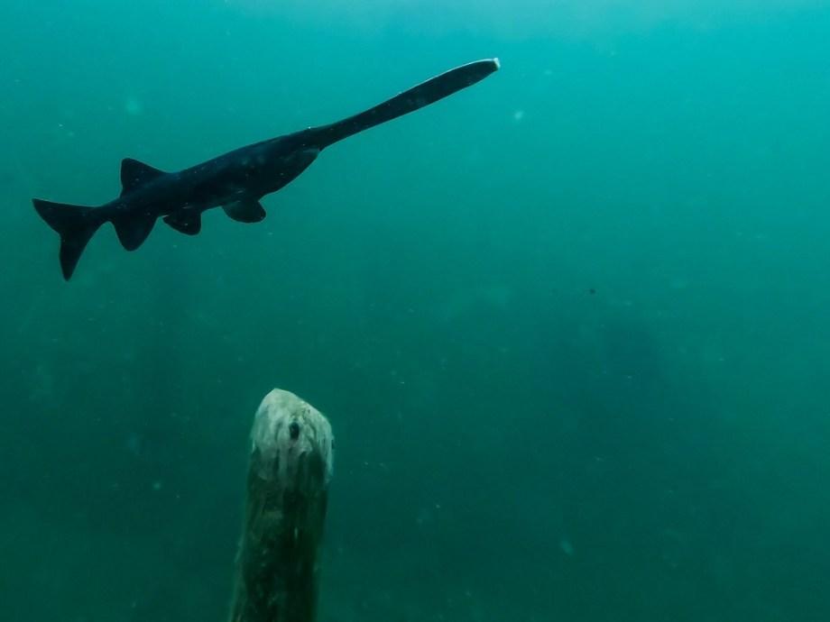 Un polyodon à spatule en pleine eau