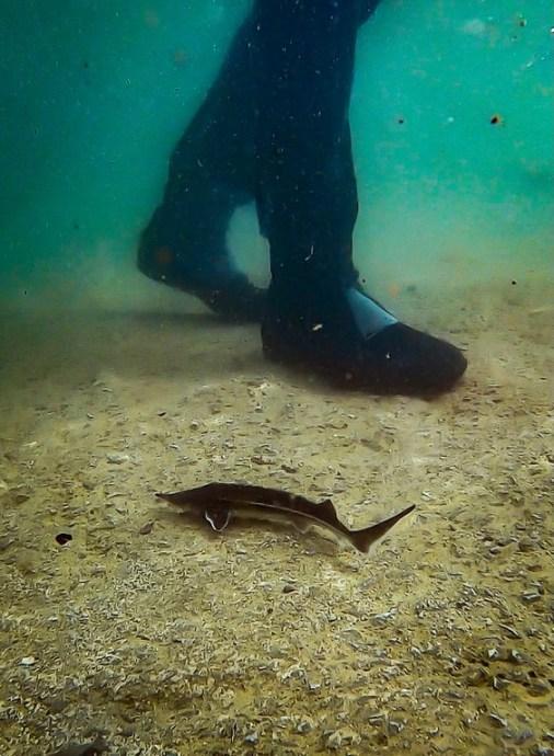 Un jeune esturgeon posé devant les pieds d'un plongeur sous l'eau.