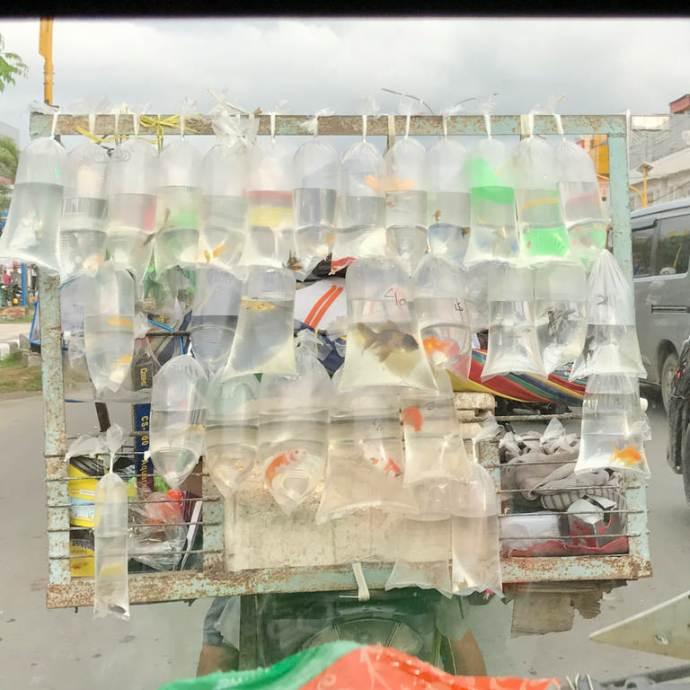 Des poissons enfermés dans des sacs en plastique en Indonésie.