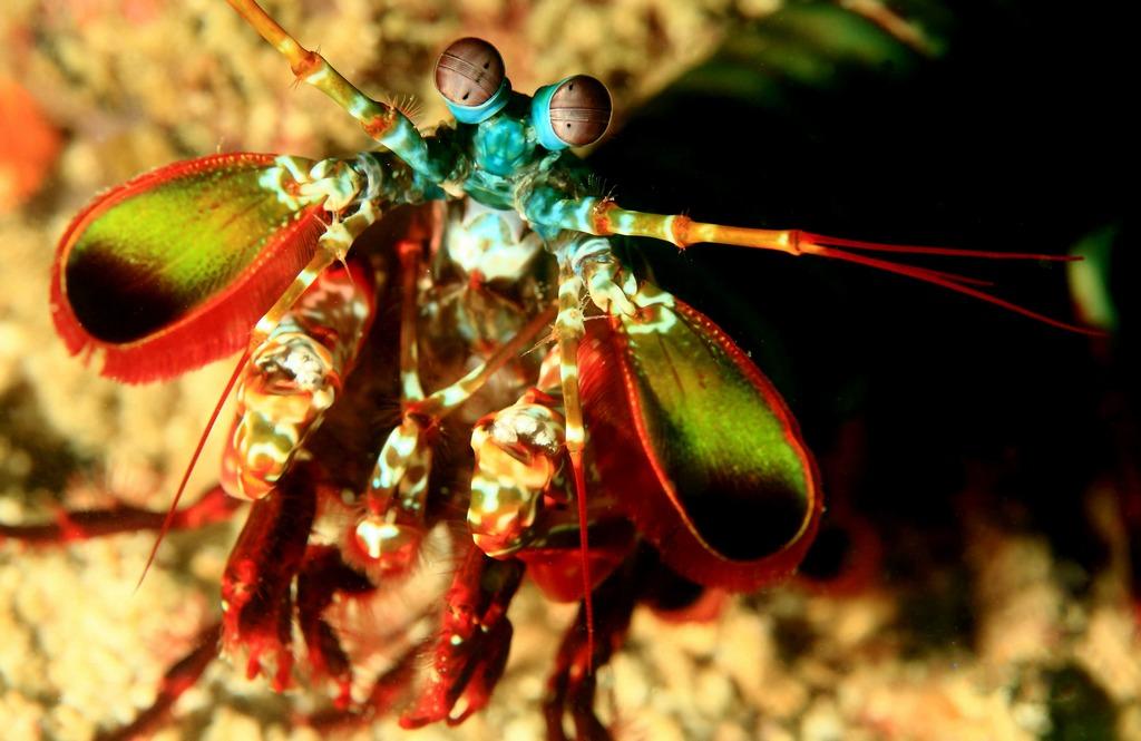 Manta Shrimp à Raja Ampat.