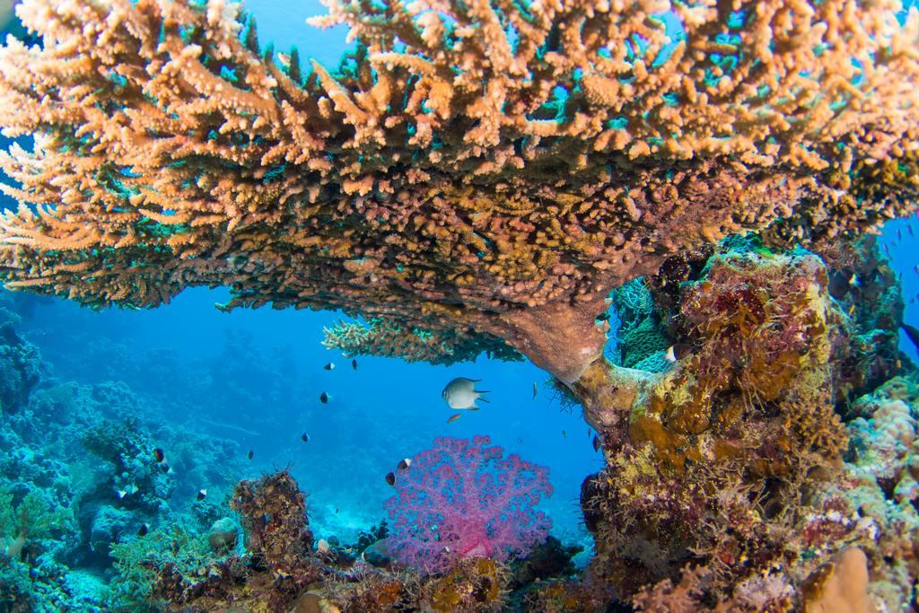 Table de corail de feu en mer rouge en Egypte.