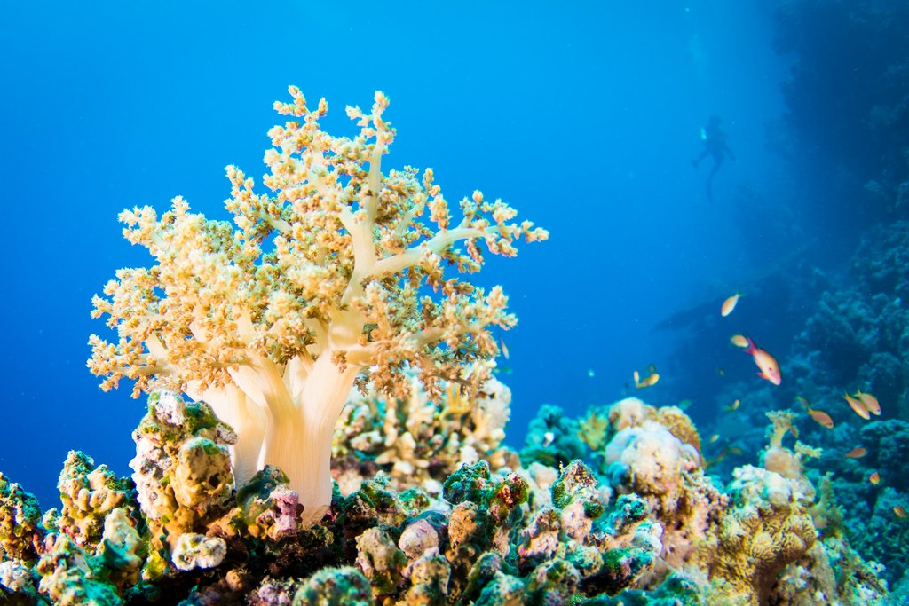 Un plongeur derrière des coraux en Egypte.