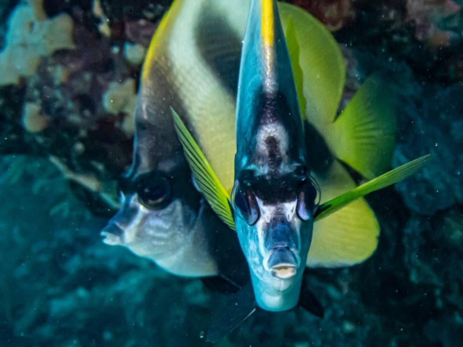 Deux poissons regardent l'objectif d'une plongeuse partie plonger à Zabargad en Egypte.