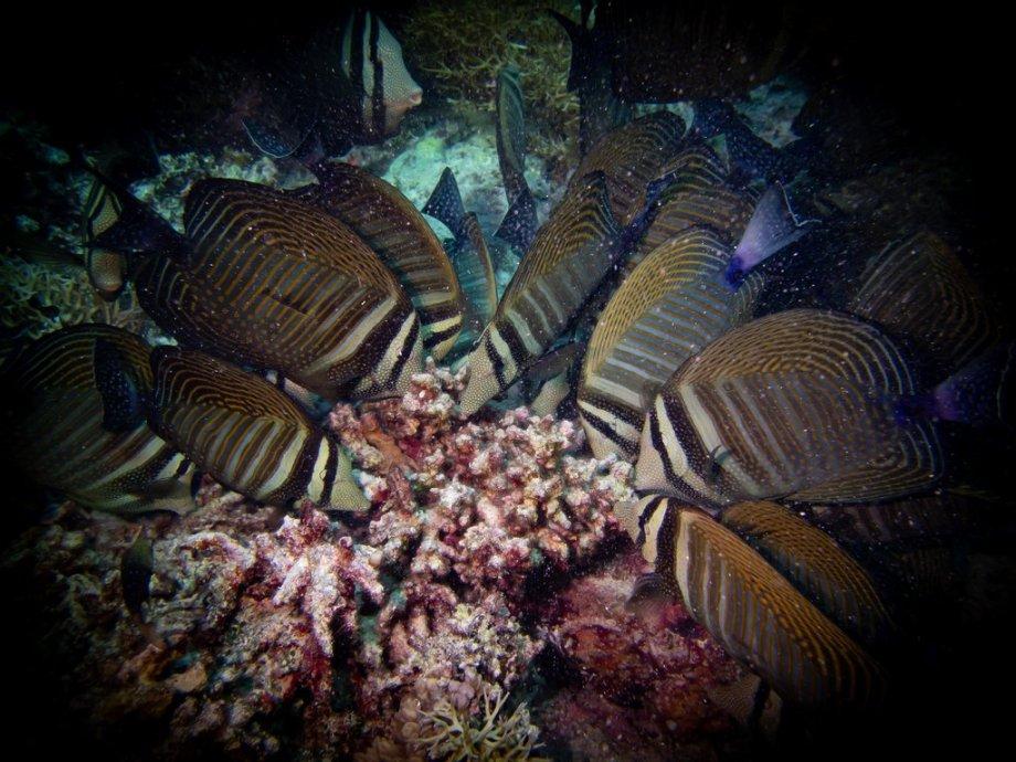 Des poissons font un festin devant une plongeuse partie plonger à Zabargad