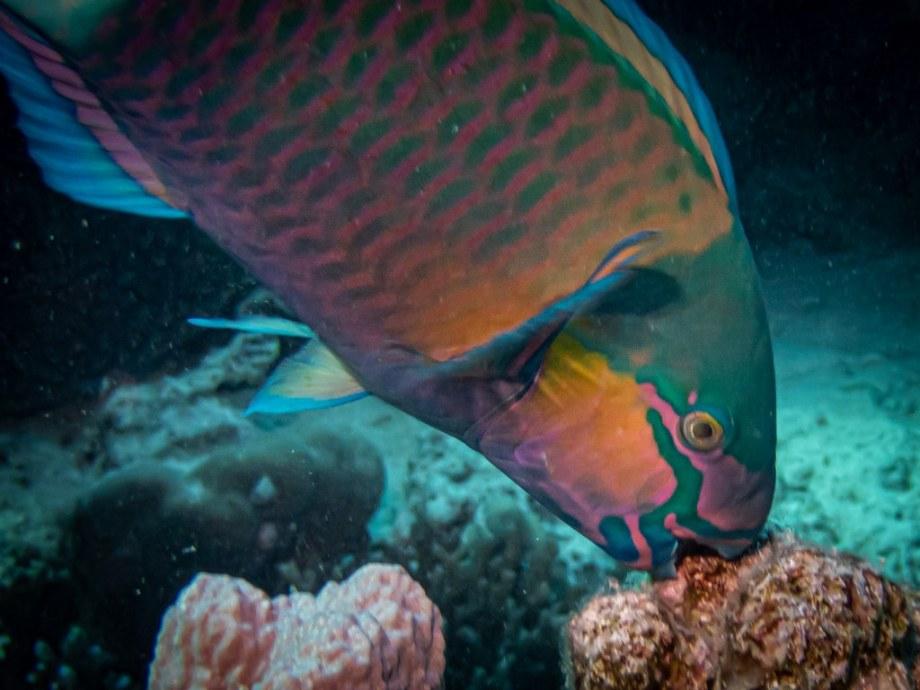 Un poisson perroquet mord un corail en Egypte.