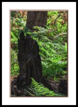 ferns-burned-tree-west-fork-2793-