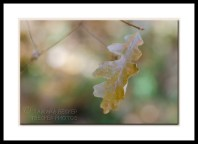 oak-leaf-west-fork-2913
