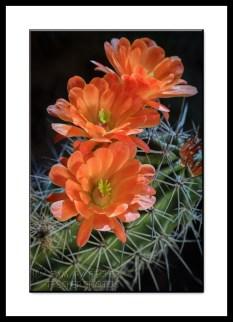 Scarlet Hedgehog Cactus Flowers
