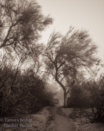 fog in the Sonoran Desert with Palo Verde trees