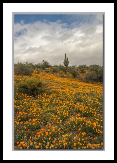 Field of Mexican Gold Poppies at Peridot Mesa in Arizona