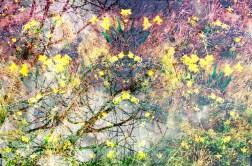 daffodils pm
