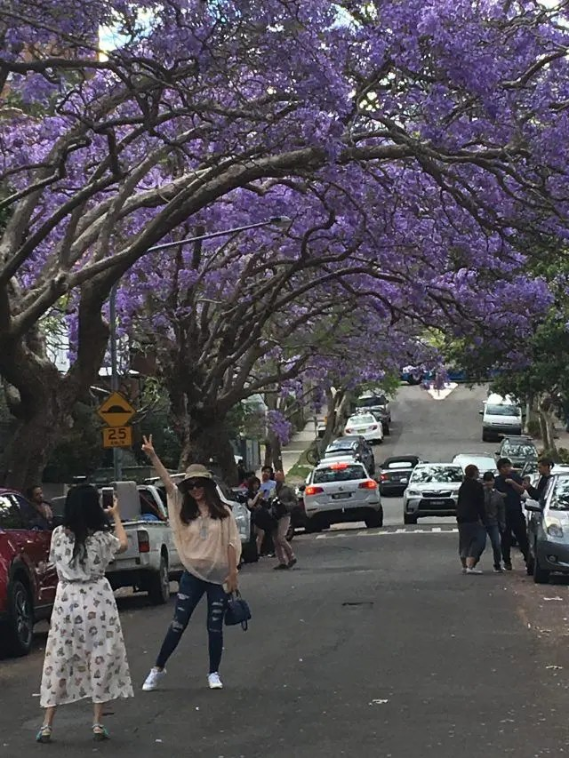 Between October and November McDougall Street in Sydney's Kirribilli creates a jacaranda tunnel of gorgeous purple flowers