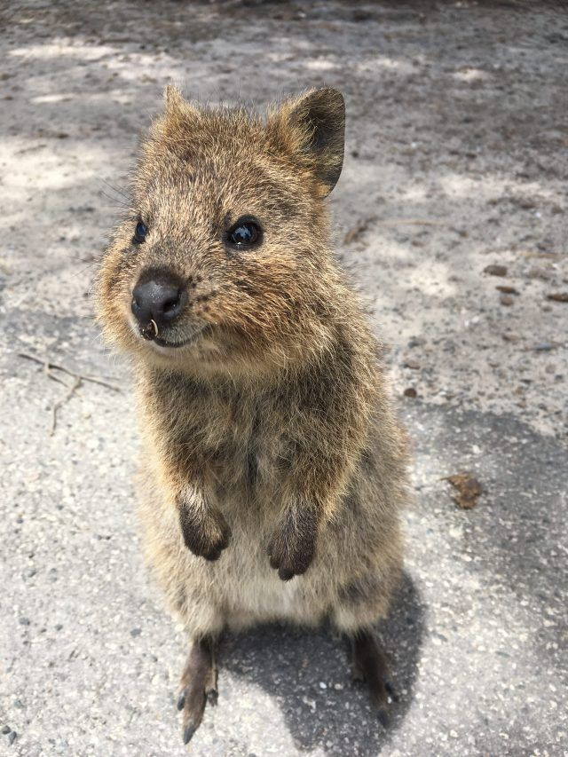 There are 12,000 quokkas on Rottnest Island near Perth and they love to post for photographs. Here's how to get the perfect selfie with one (from someone who took five years trying!)