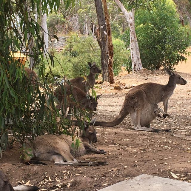 Want to know where to see kangaroos in Perth. Try the John Forrest Tavern just outside the city. It has it's own mob of roos that like to join you in the beer garden. What happened when we had a schooner with Skippy.