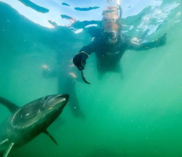 Swimming with the tuna in South Australia's Oceanic Victor