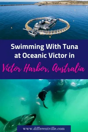 We had the most amazing afternoon swimming with the tuna at Oceanic Victor at Victor Harbour near Adelaide. Here's everything you need to know if you want to try it. #Adelaide #victorharbor #oceanicvictor