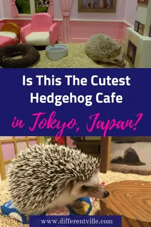 Chiku Chiku Hedgehog Cafe in Tokyo is the cutest hedgehog cafe we've been to so far. All the hedgehogs live in tiny little dolls house type rooms. Here's all you need to know (and cute pictures of hedgehogs). #hedgehogcafe #shibuya #thingstodointokyo