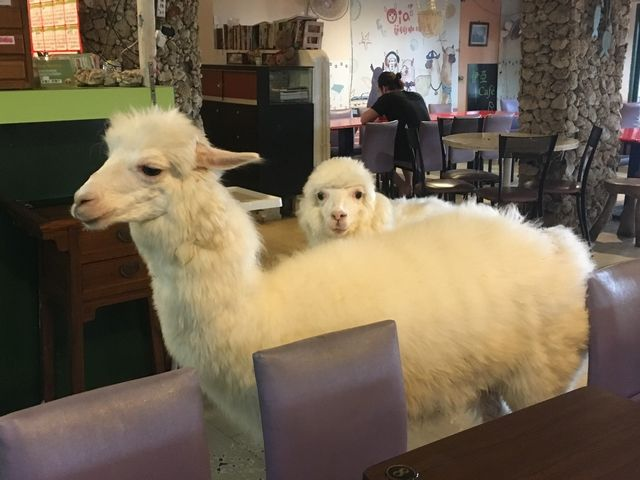 Oia Alpaca Cafe is definitely an unusual thing to do in Taipei. You can have a coffee while surrounded by alpaca.