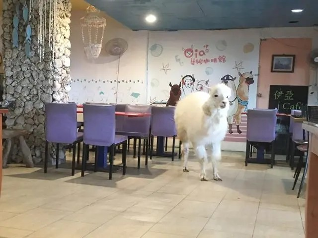 There's an alpaca cafe in Taipei, Taiwan. This is one of it's fluffy residents.
