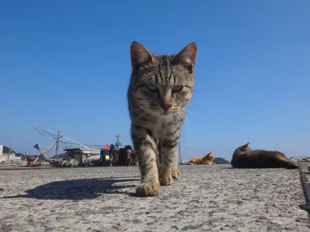 Close up of a cat on Ainoshima, a cat island close to Fukuoka in Western Japan.