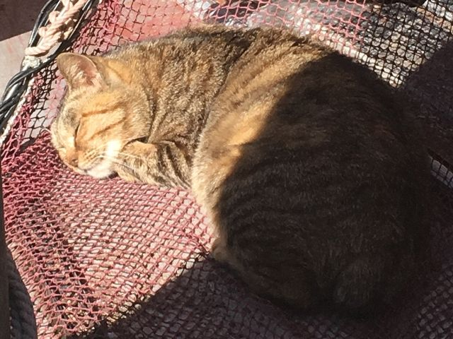 Cat sleeping in a fishing net on Ainoshima, one of Japan's Cat Islands.