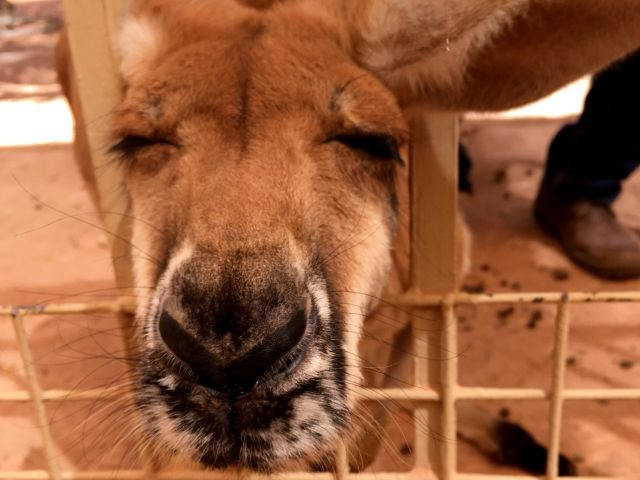 Closeup of Bella the Kangaroo