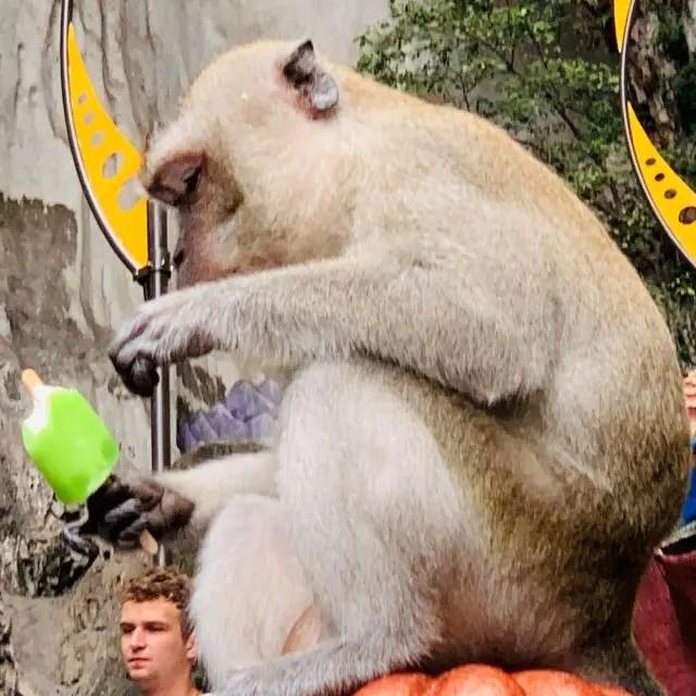 Monkey eating a stolen ice lolly at Batu Caves Kuala Lumpur
